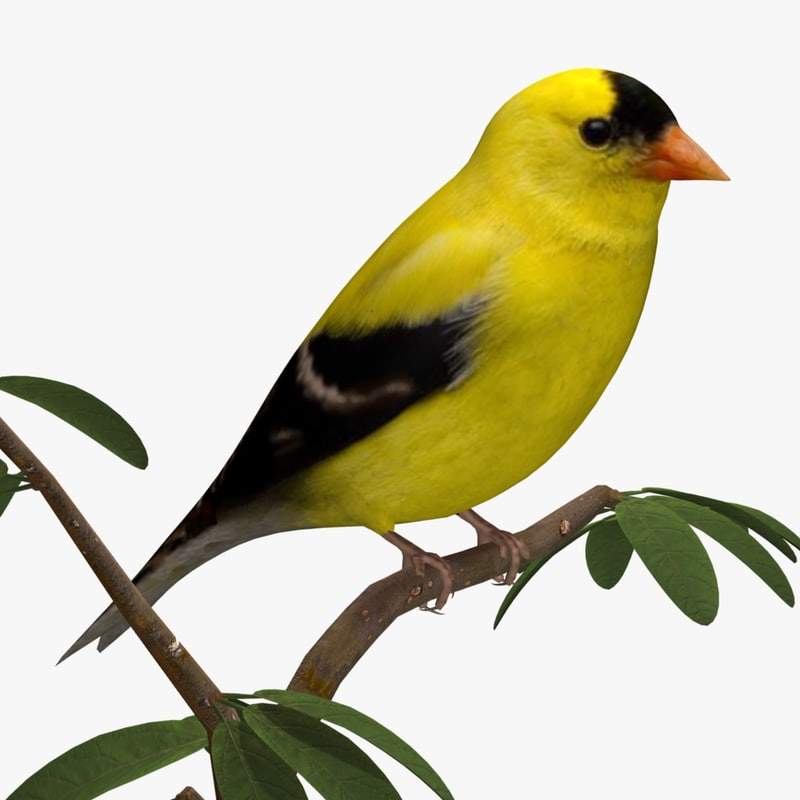 3d american goldfinch ab