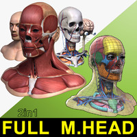 male head anatomy skeleton 3d obj