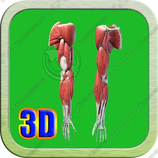 upper limb 3d model