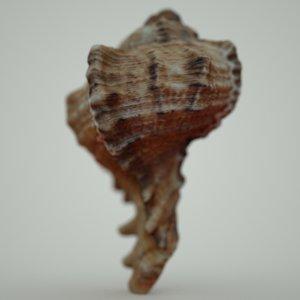 murex sea shell obj