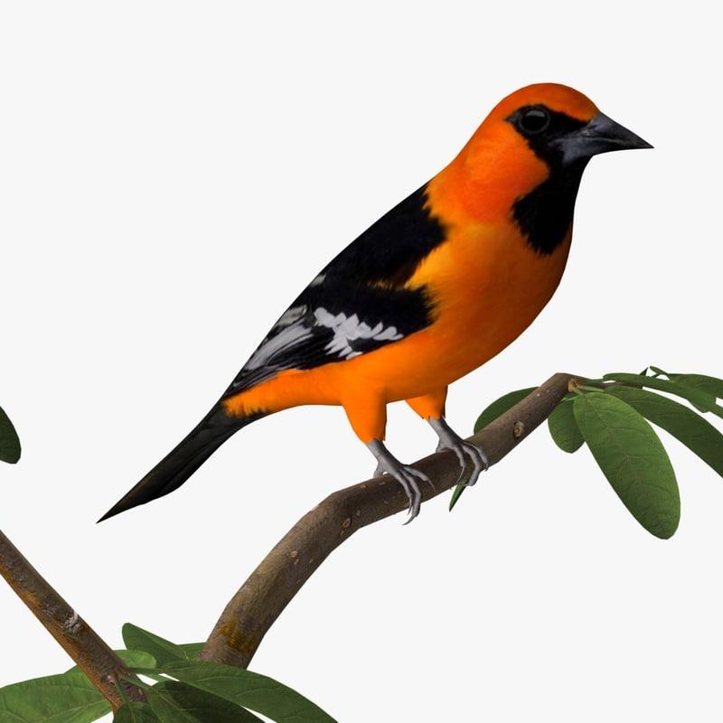 altamira oriole birds ab 3ds