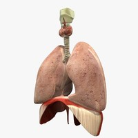 3d lungs diaphram anatomy model