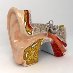 3d ear anatomy