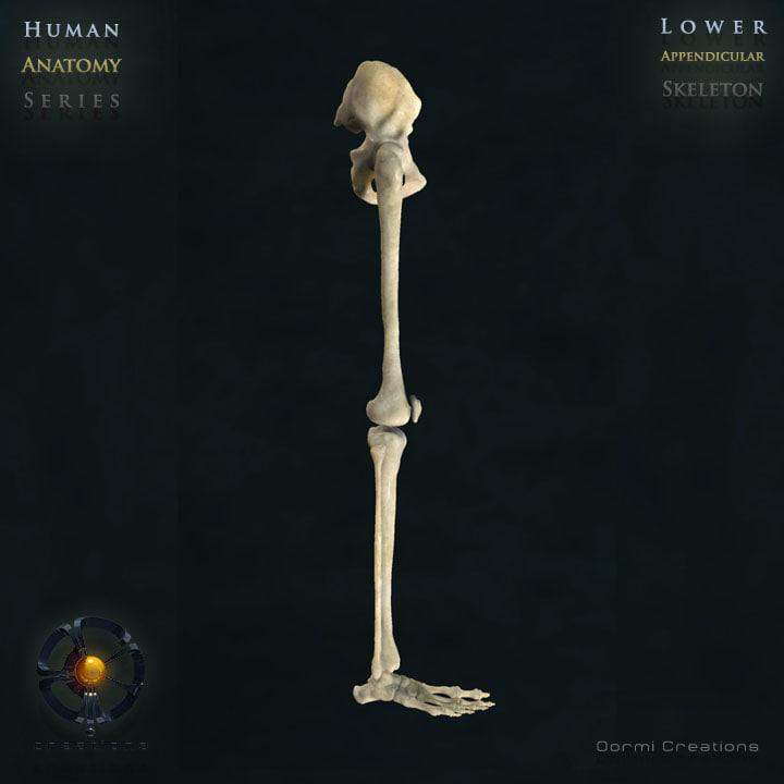 3ds max human lower appendicular skeleton bone
