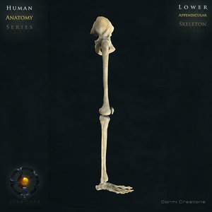 3d human lower appendicular skeleton bone