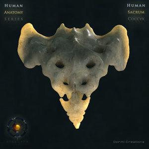 3d model human sacrum coccyx