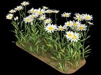 matricaria camomile chamomile