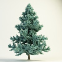 picea pungens glauca Blue Spruce