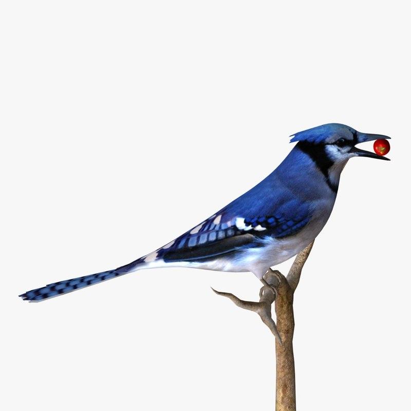 3ds blue jay birds ab