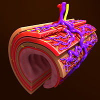 human small intestine 3d model