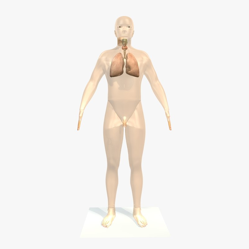 male body lungs 3ds
