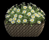 camomile matricaria in pot