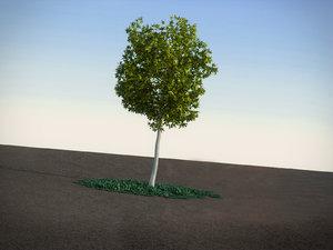max acacia dealbata tree