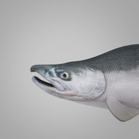 sockeye - salmon