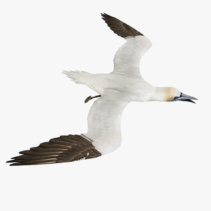 northern gannet 3d model