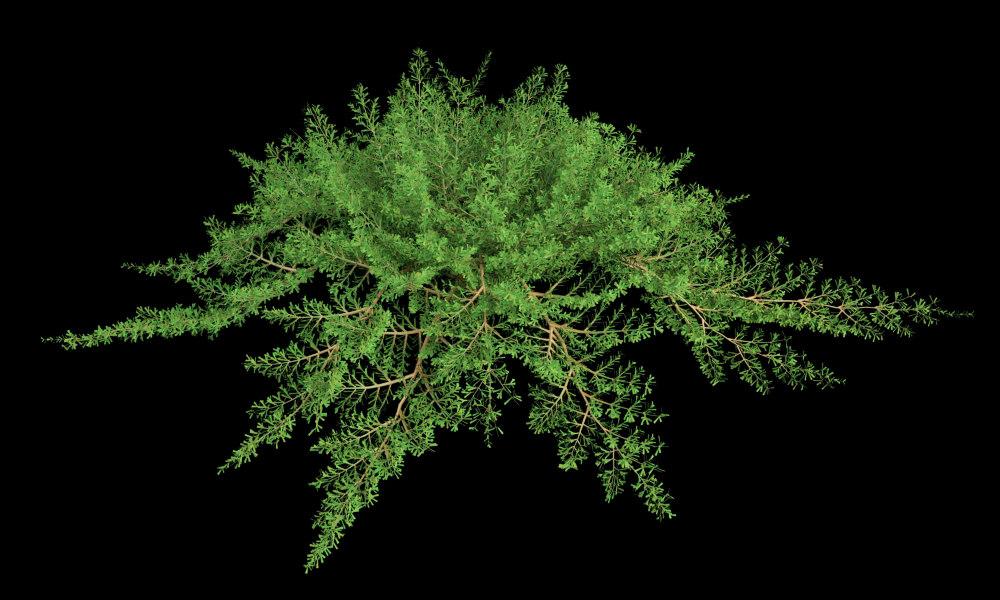 juniper juniperus mas max