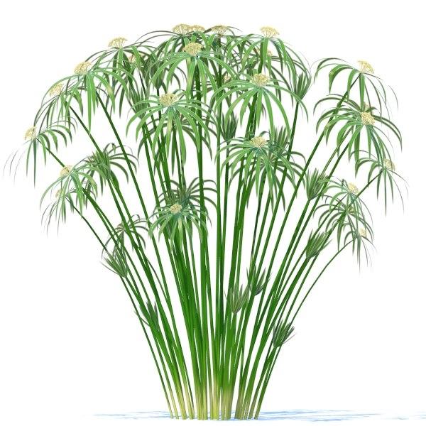 how to grow cyperus alternifolius