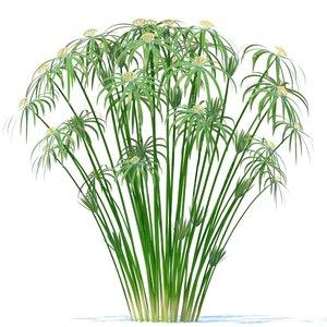 cyperus alternifolius plant 3d model