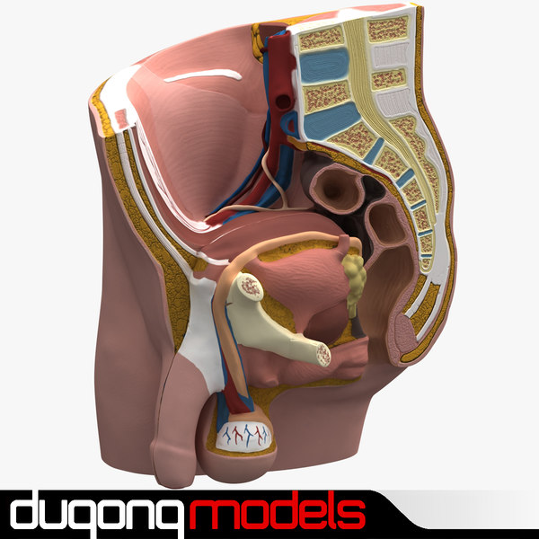 3d model dugm01 male pelvis section