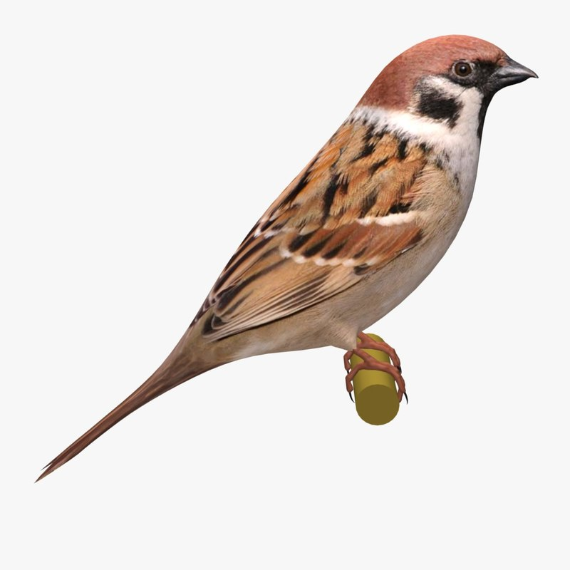 3d model eurasian sparrow ab
