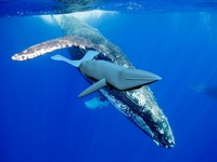 free max model humpback whale