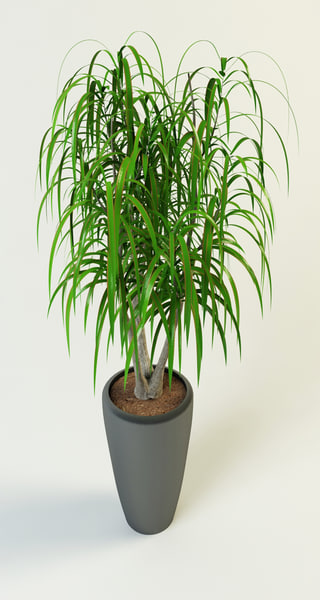 max dracaena palm