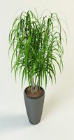 dracaena palm