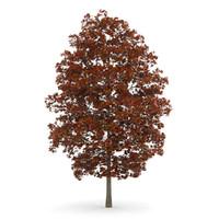 Acer Platanoides 8M (Autumn)