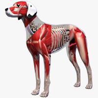 Dog Anatomy (Textured)