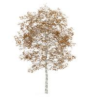 tree birch