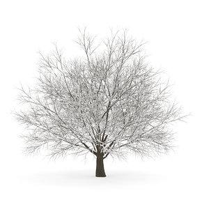 smax hornbeam winter