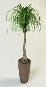 beaucarnea ponytail palm 3d model