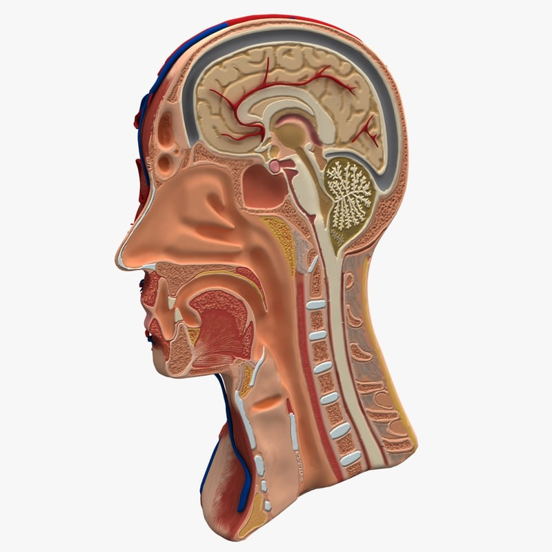3d model dugm01 anatomy head cutaway