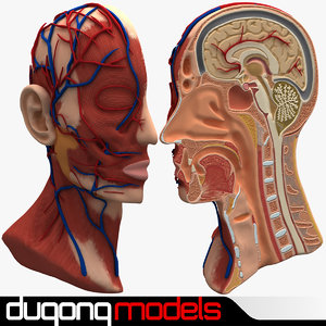 3d model dugm01 anatomy head cutaway