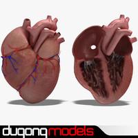 c4d dugm01 human heart