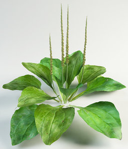 3d model plantain plantago plant