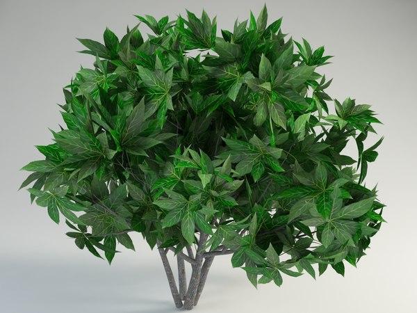 maya fatsia japonica fatsi