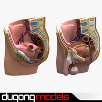 dugm01 male female pelvis 3d 3ds