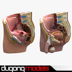 dugm01 male female pelvis 3d 3ds