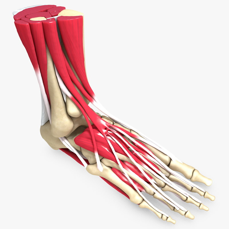 human ligament 3d model