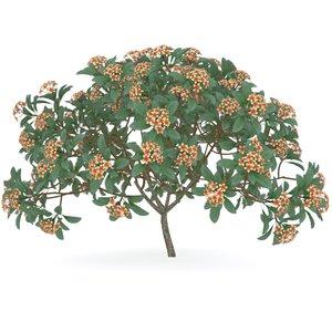 max plumeria rubra tree flowers