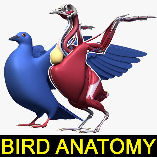 pigeon anatomy skeleton 3d lwo