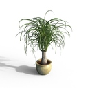 ponytail palm 3D models