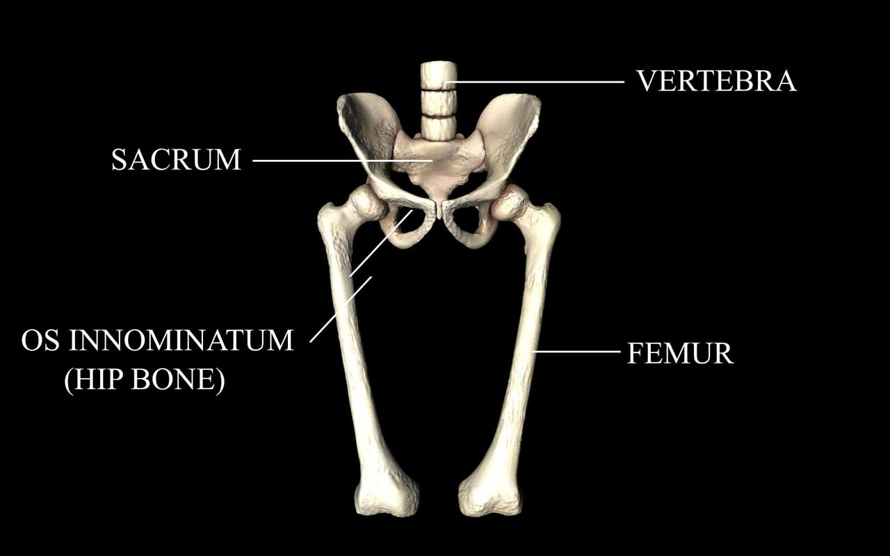 3d model medically accurate hip joint