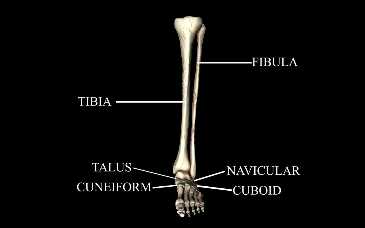3d ankle joint bones