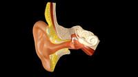 3d ear anatomy model
