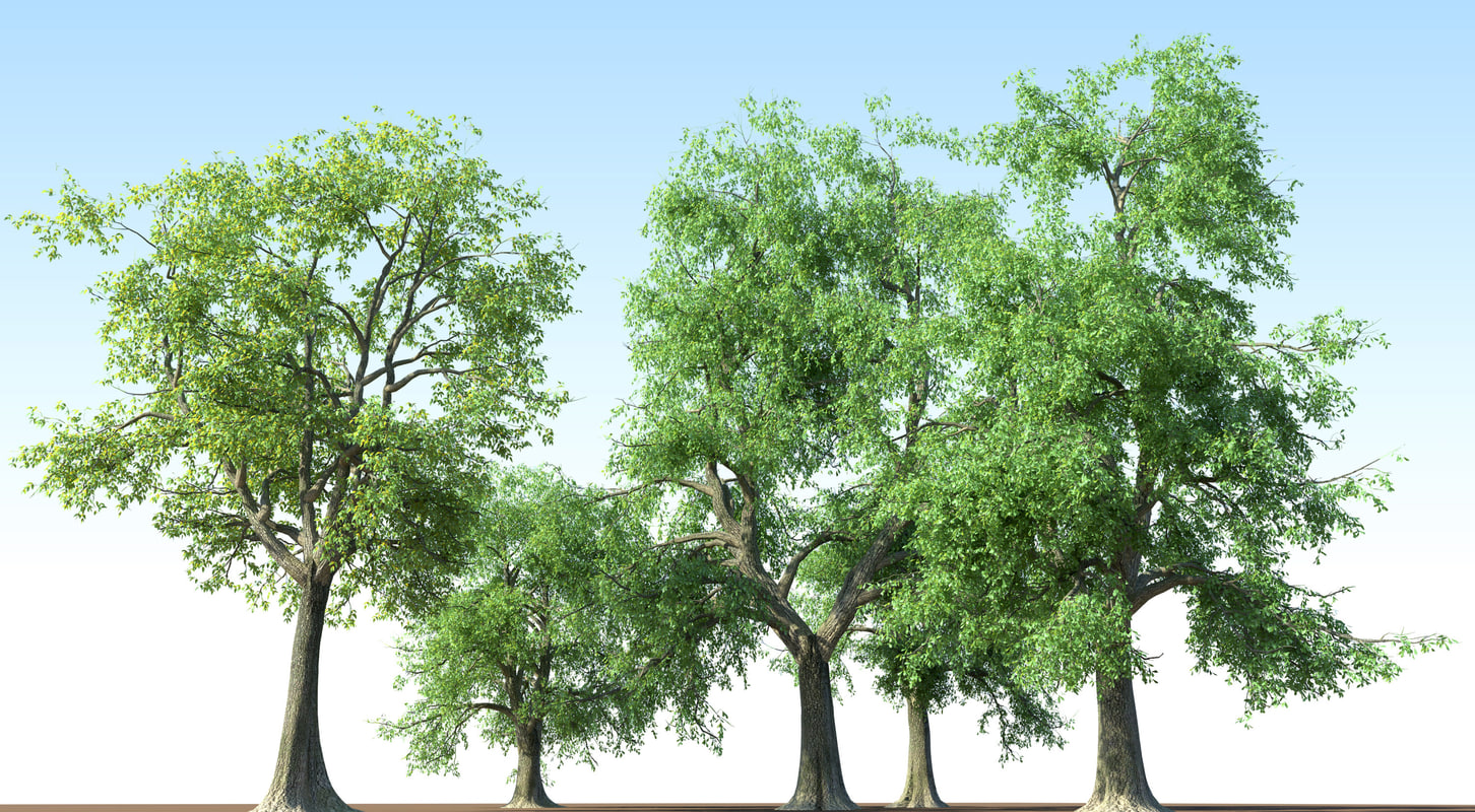 3d fraxinus tree ash model