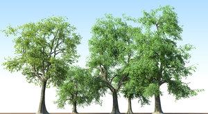 3d fraxinus tree ash model