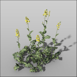 rapeseed flowers c4d
