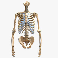 Ultimate Human Torso and Arms Skeleton